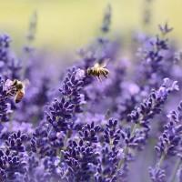 lavender-1537694_640