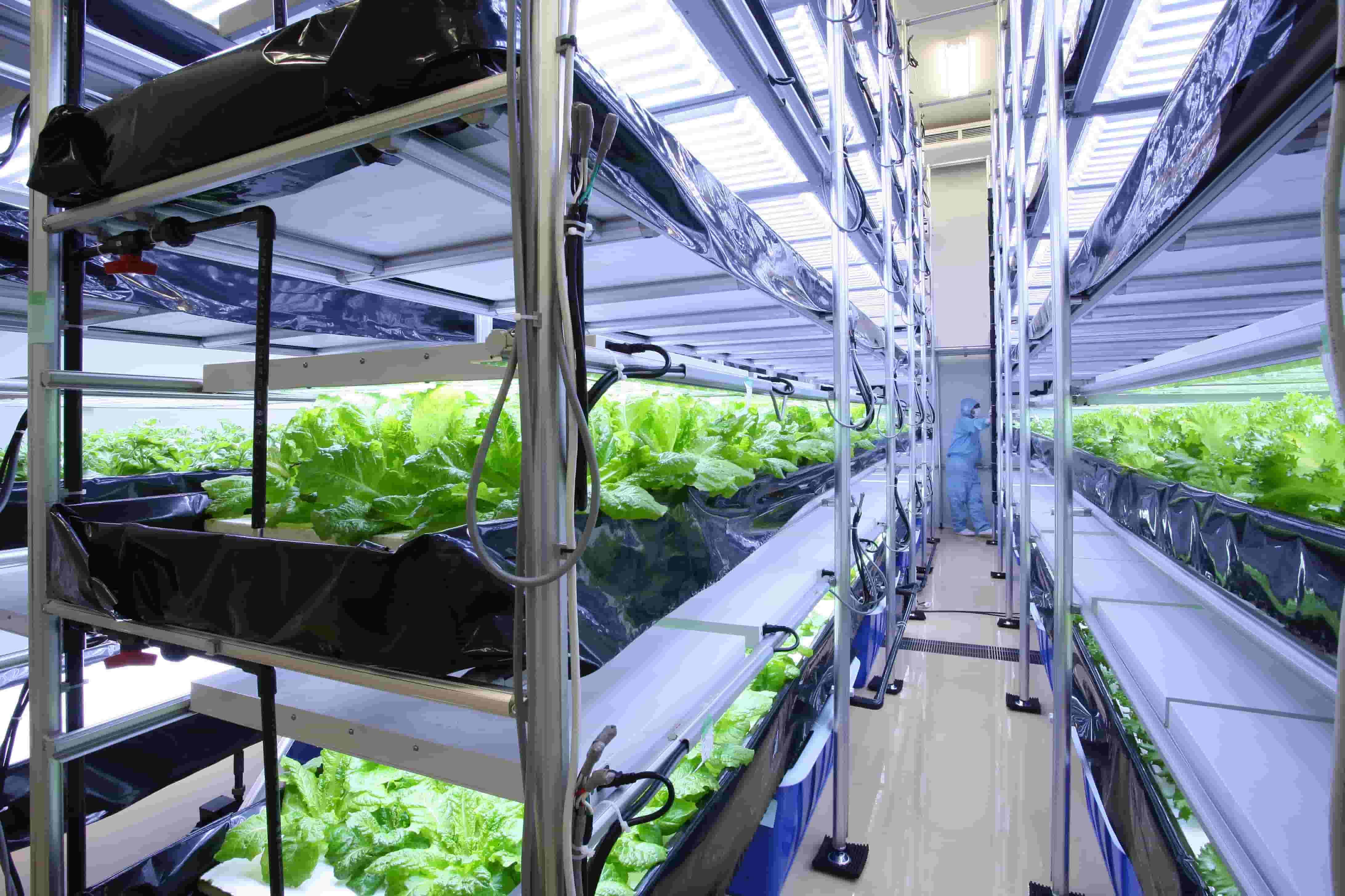 ベジママの原料に含まれる「アイスプラント」の植物工場 最新技術で管理されています!